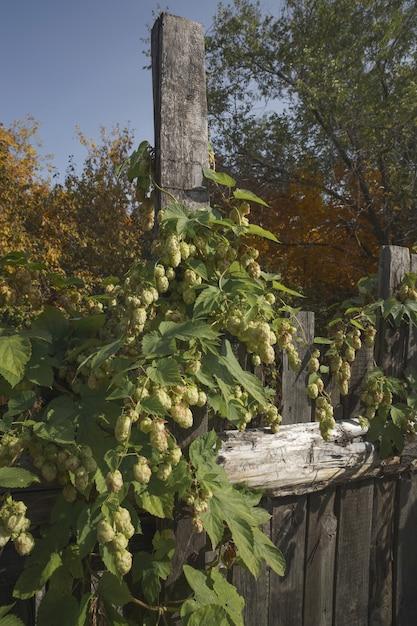Зеленые свежие шишки хмеля для приготовления пива и хлеба. Premium Фотографии