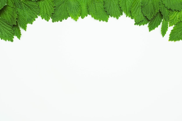 Green fresh lemon balm leaves at the top of white background Free Photo