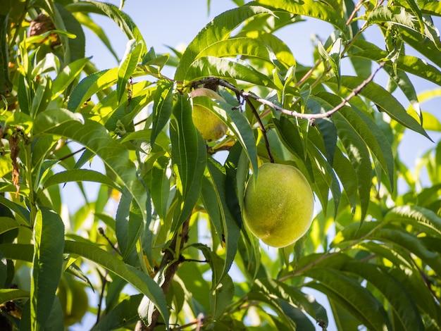 緑の葉を持つ桃の木からぶら下がっている緑の新鮮な桃 無料写真