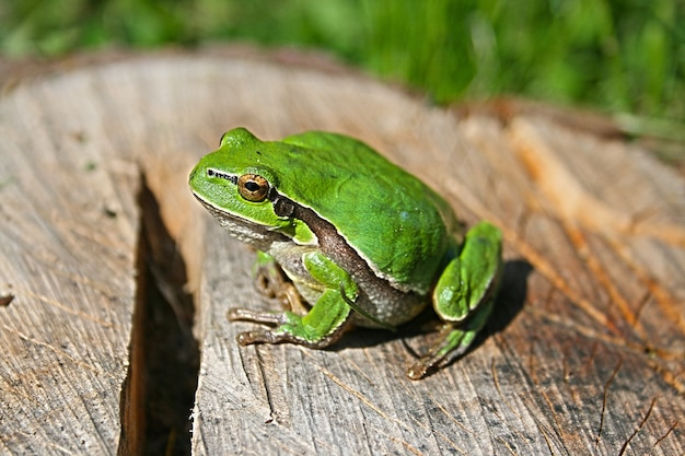 Green frog on a log Free Photo