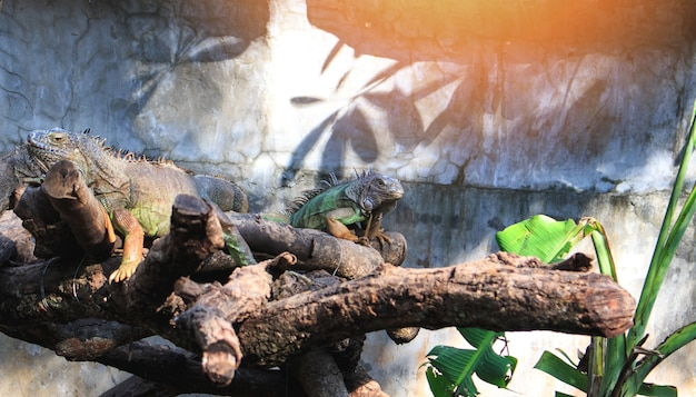 Green giant lizard Premium Photo