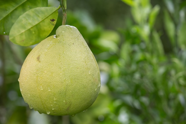 The green grapefruit is placed on the branches and has a natural  blurred in the back. Free Photo