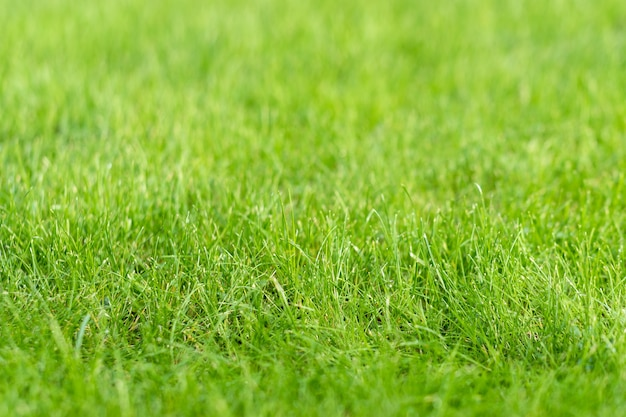 Green grass lawn in the garden, green flooring making concept, football pitch training or golf lawn Premium Photo