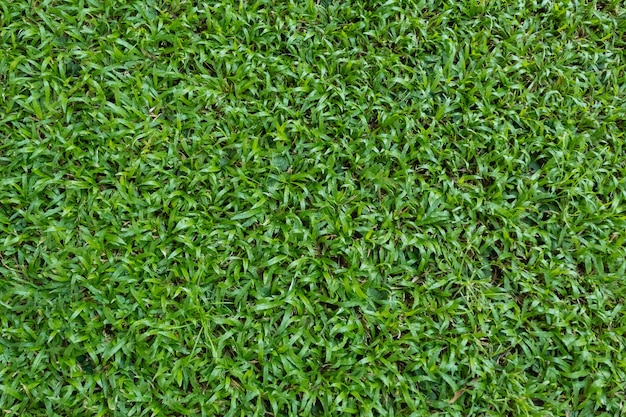 Green grass texture for background  green lawn pattern and