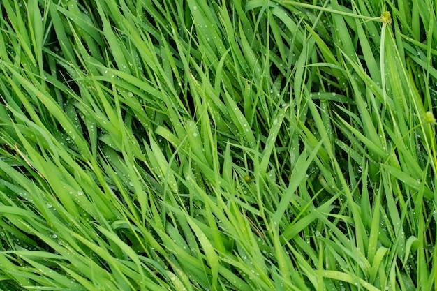 Green grass texture of background. Premium Photo