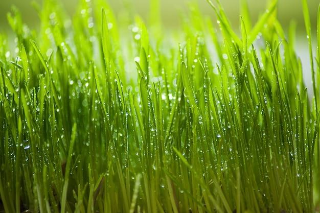 Green grass with rain drops. selective focus. Premium Photo