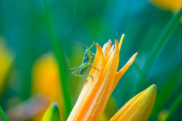 Зеленый кузнечик на цветке крупным планом Premium Фотографии