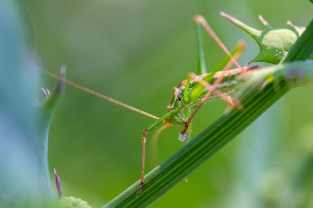 Зеленый кузнечик сидит в траве Premium Фотографии
