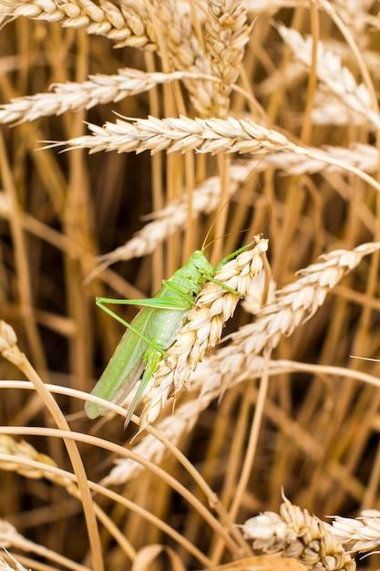 Green grasshopper on a spike Premium Photo