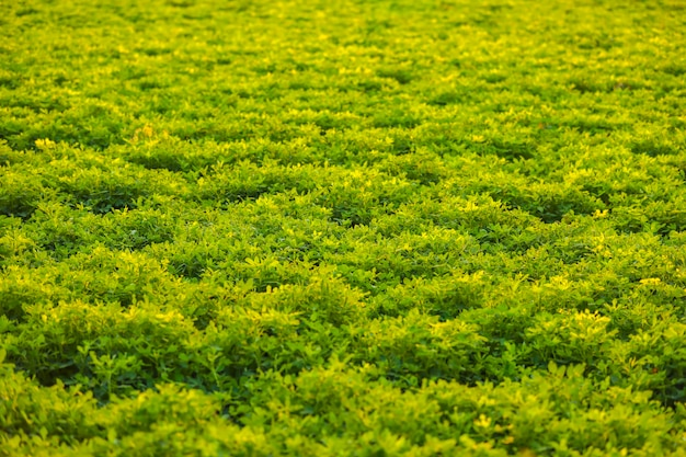 Green ground nuts agriculture field Premium Photo