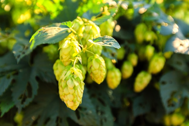 Green hops at sunny day Premium Photo