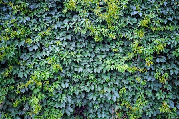 Green ivy background, fresh green leaves texture Premium Photo