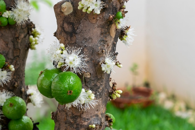 녹색 Jaboticabas와 나무에 꽃 프리미엄 사진