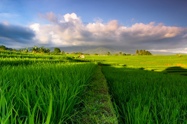The green landscape of indonesian rice fields Premium Photo