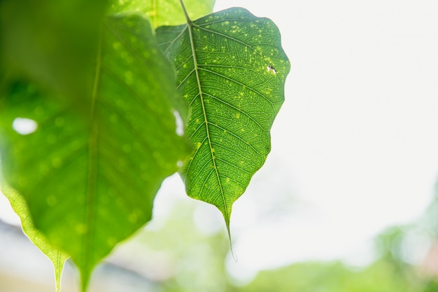 Green leaf of buddha pho leaf  bothi leaf or bho leaf in thailand temple Premium Photo