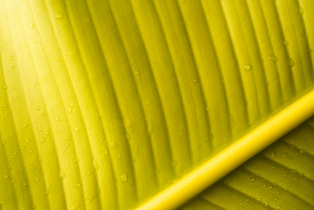 Green leaf of fresh banana fruit Free Photo