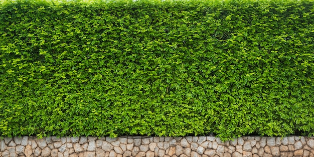 Green leaf of hedge for nature background or backdrop Premium Photo