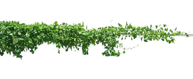 Green leaf ivy  plant isolate on white Premium Photo