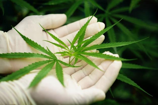 Green leaf of marijuana in a hand Free Photo