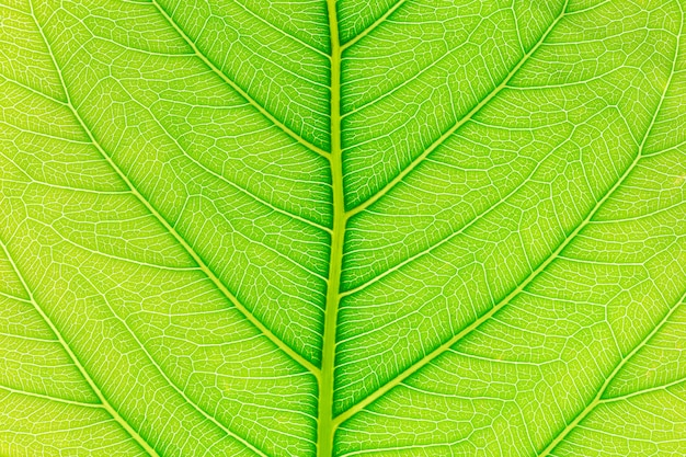 Green leaf pattern texture background with light behind. Premium Photo