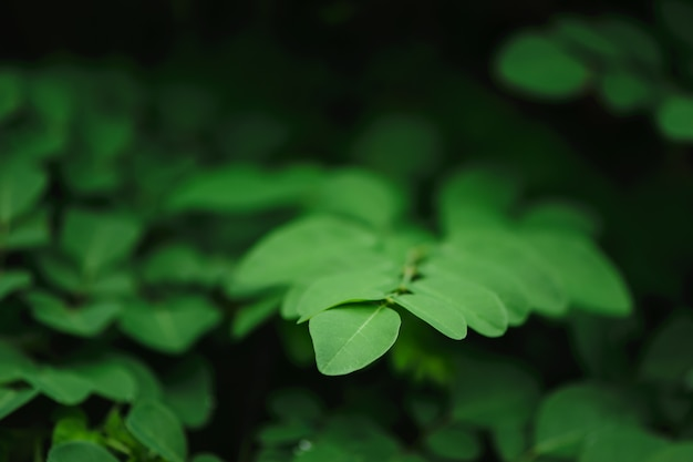 Green leafs on dark background, thai herb, moringa oleifera, malignant tumor. Premium Photo