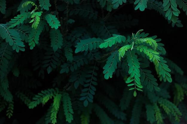 Green leaves of acacia Premium Photo