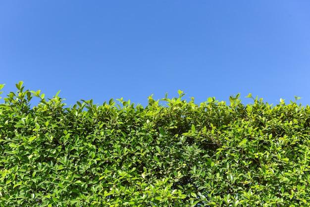 Зеленые листья фон с голубым небом или естественной текстурой стен, квадратная рамка из зеленых листьев Premium Фотографии