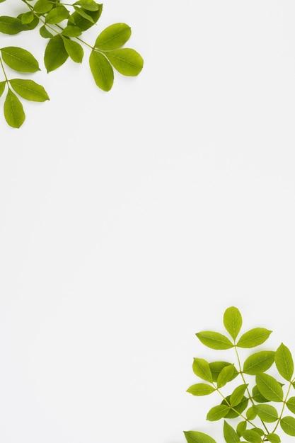 白い背景の隅に緑の葉の枝 Premium写真