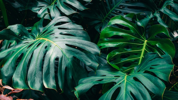 Green leaves of monstera philodendron, plant growing in botanical garden, tropical forest plants, evergreen vines abstract . Premium Photo