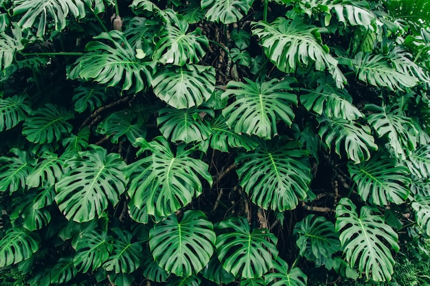Green leaves of monstera philodendron plant growing in greenhouse Premium Photo