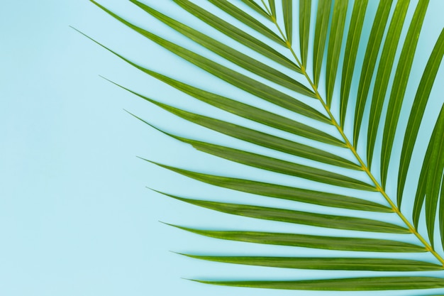 Green leaves of palm tree on blue Premium Photo