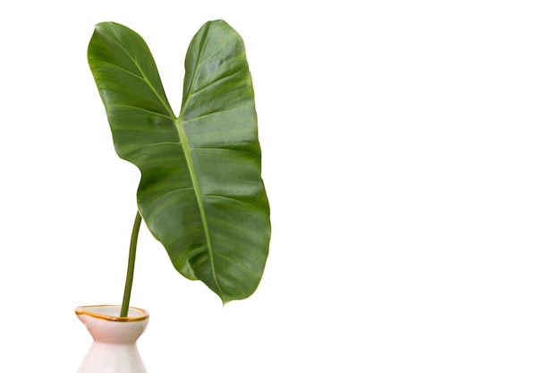 Green leaves of  a vase on white background and copy space. Premium Photo