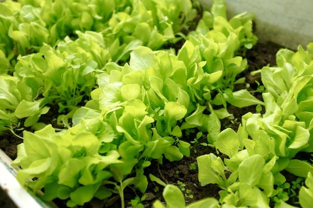 緑のレタスの葉は庭のベッドで育ちます。収穫のコンセプトです。ぼかしとセレクティブフォーカス Premium写真