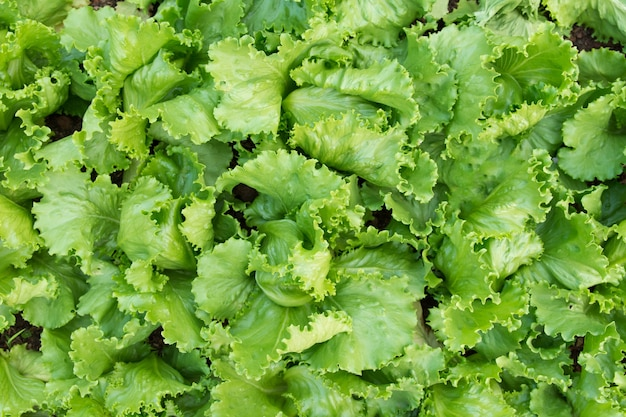 Green Lettuce Plants In Growth At Garden Top View Fresh Leaves Background Premium Photo