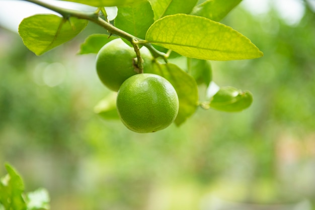 Green limes on a tree - fresh lime citrus fruit high vitamin c in the garden farm agricultural with nature green at summer Premium Photo