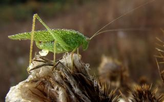 Green Locust Free Photo
