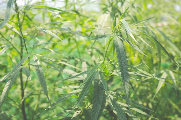 Green marijuana background. Free Photo
