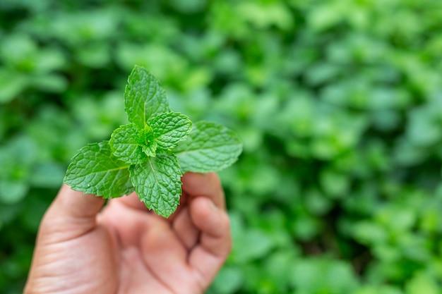Green mint leaf handle. Free Photo
