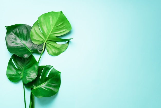 Green monstera leaves on blue background with copy space. top view. minimal design. Premium Photo