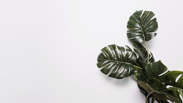 Green monstera leaves on white backdrop Free Photo