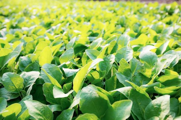 햇빛과 함께 성장하는 녹색 유기농 야채. 프리미엄 사진
