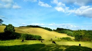Green pasture, cows Free Photo