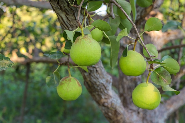 Green pears on branch, pear tree with raw juicy pears Free Photo