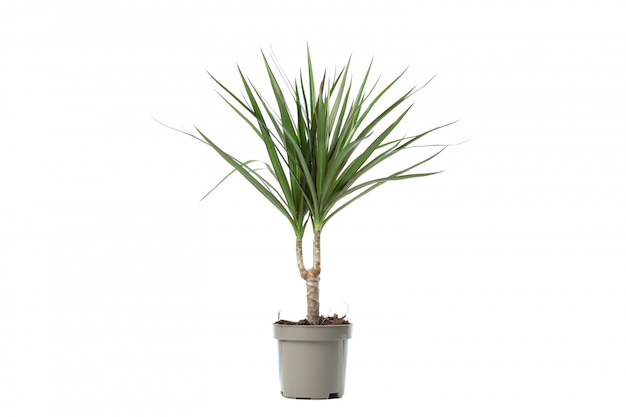 白で隔離される鍋の緑の植物 Premium写真