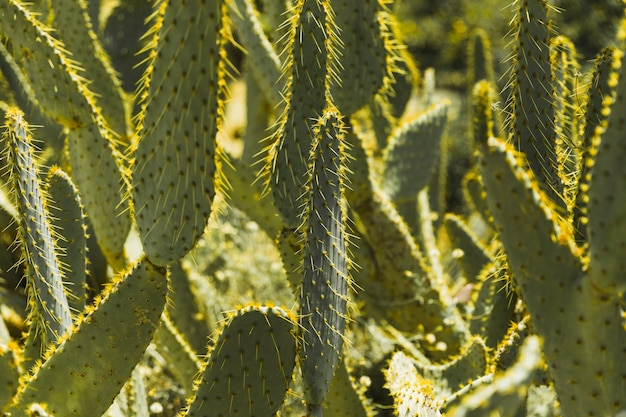 Green prickly pear cactus with thorns Free Photo