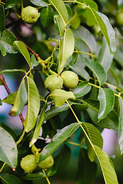Green raw walnuts growing on a tree Premium Photo