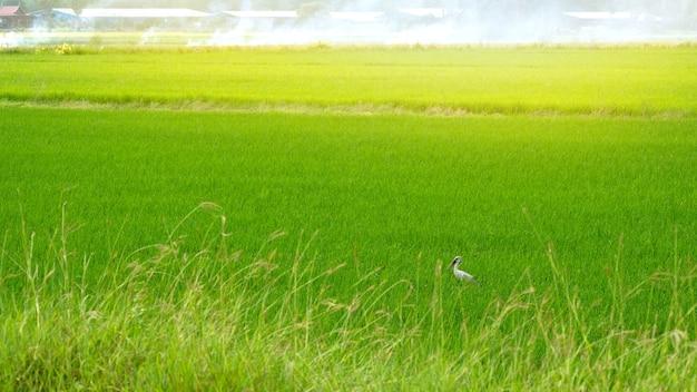 Зеленый рисовое поле пейзаж Premium Фотографии