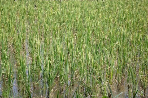녹색 쌀 필드 여름에 휴식 프리미엄 사진