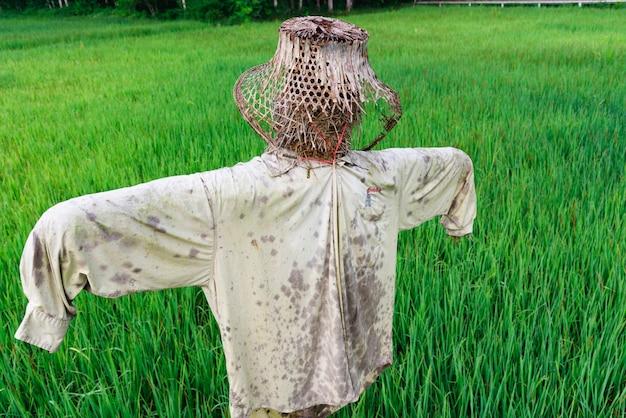 Зеленое рисовое поле с чучелом Premium Фотографии