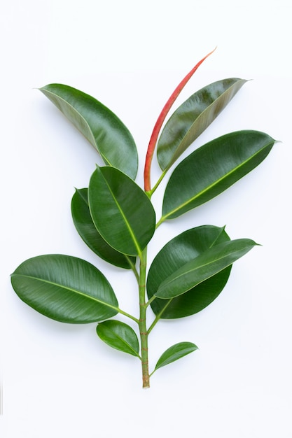 Green rubber plant leaves on white Premium Photo